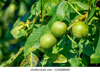 Ripening fruits of a common walnut in a green peel among green foliage (Juglans regia)