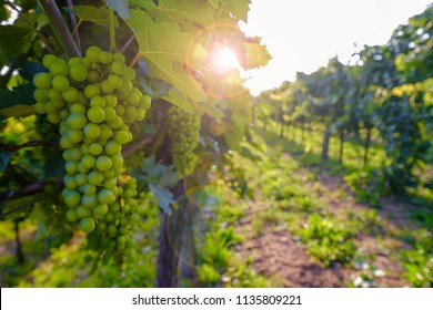 Ripening grapes on the vineyard with lens flare. Sunny countryside scene in Vipava valley, Slovenia