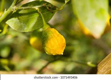 Ripening lemon on the branch