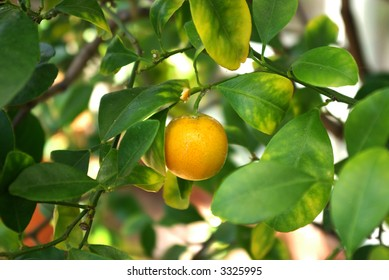 A ripening miniature orange on a tree surrounded by leaves