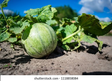 Ripening musk melon in the garden