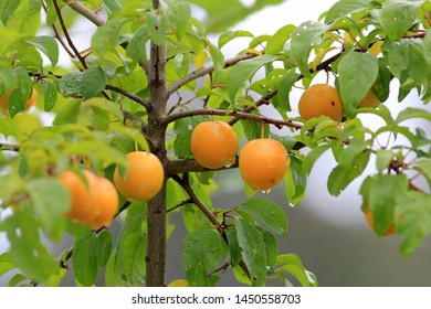 Ripening plum fruit in the rain in the garden