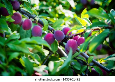 Ripening plums on a tree in summer close-up. Dark blue plums & foliage on the branches of a plum tree. Plum branches densely covered with the green leaves & dark blue plums.