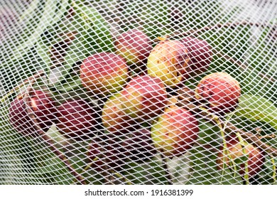 Ripening plums of red and yellow-green grow on a tree in a garden under a net protecting them from insect attack