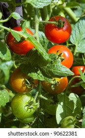 Ripening red and green tomatoes on the vine