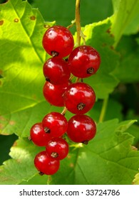 ripening redcurrant bunch on the branch