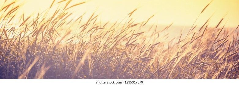 Ripening spikelets of golden wheat field on the sunset. sun rays on sea horizon. landscape of sunrise in rural. Close up. Panoramic banner