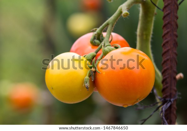 ripening-tomatoes-organic-on-plant-600w-