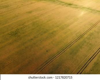 Ripening wheat. Green unripe wheat is a top view. Wheat field.