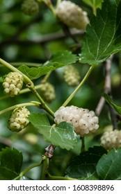 Ripening White mulberry (Morus alba)