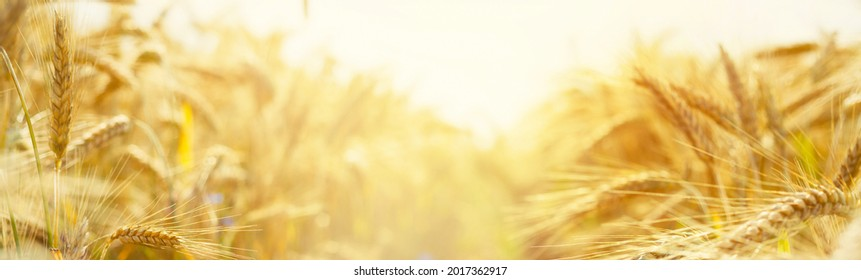 Ripening yellow ears of wheat with shallow depth of field in field with. Panoramic yellow banner with ears of corn on both sides of the frame. Rural landscape of a ripening harvest at sunset