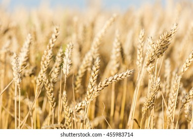 Ripening yellow rye field.