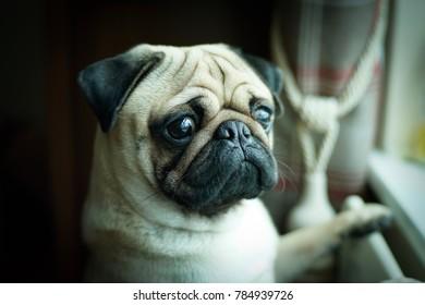Ripley boy Pug......Waiting.