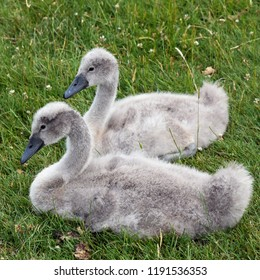 Ripon England Uk June 22nd 2018 a pair of Cygnets at rest on grass