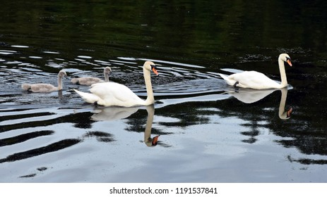 Ripon England Uk June 22nd 2018 family of mute swans with cygnets swimming on water