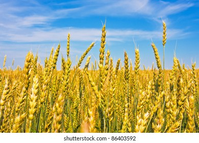 Ripping wheat ears beneath cloudy sky in fine summer day