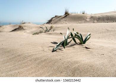 Rippled sand dunes with green plants growing on top on a sunny day and a blue sky above. Coastal landscape.