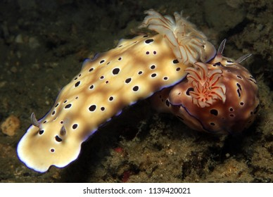 Risbecia Tryoni Couple. Lembeh Strait, Indonesia
