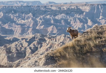 Rise & Shine A Bighorn sheep looks over the Badlands National Park shortly after sunrise.