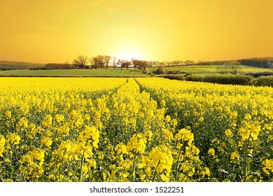 Rise and Shine. Stunning Sunrise over Farm and Yellow Crop Field in Northumberland, England