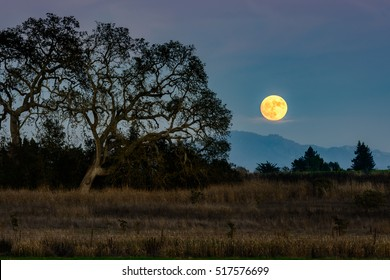 Rise of the super moon with Oak trees seen from the Laguna de Santa Rosa Trail. Sonoma County, California.