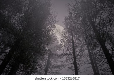 Rising full moon in a misty pine forest at night or dusk