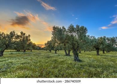 Rising morning sun over olive grove near Skala kallonis on Lesbos island, Greece