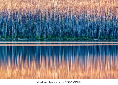 The rising sun paints trees devastated by pine beetles in a warm light as a calm morning allows for a reflection on Lake McDonald in Glacier National Park, Montana