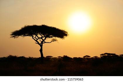 Rising Sun shinning with single Acacia tree in Africa. Beautiful scenery of sunrise / sunset in Serengeti National Park