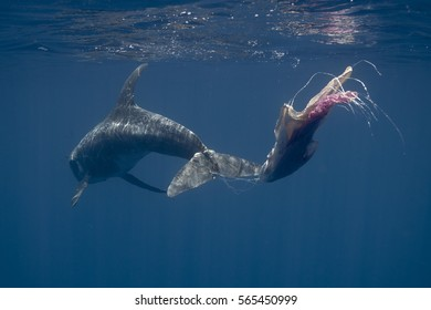 Rissos dolphin (Grampus griseus) entangles in fishing line and plastic bags, Indian Ocean
