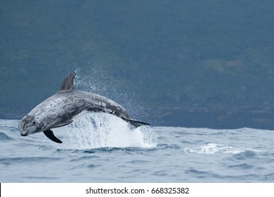 Risso's dolphin leaping from the Atlantic off the shore of Pico Island, Azores.