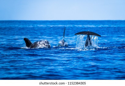 Risso's dolphins at Pico, the azores, Portugal