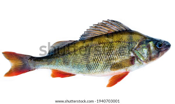 River bass, perch. Isolated on a white background