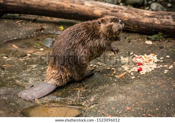 river beaver munching at lunchtime
