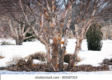 A river birch or red birch, betula nigra, with peeling bark, in winter