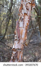 River Birch Tree Peeling Bark