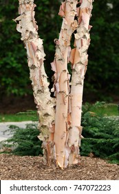 River Birch, tree trunk and bark detail