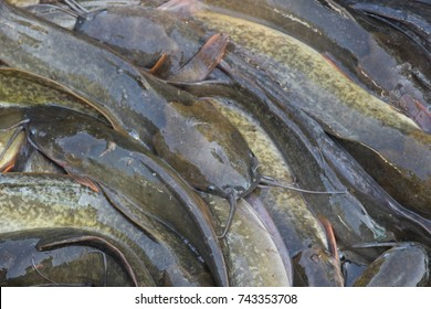 River catfish and fish ready to send to the market. very fresh from the river. helthy fish. Top view.