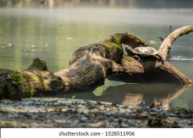 A river cooter basks in the sun on a mossy log in Elk River in Franklin County Tennessee.