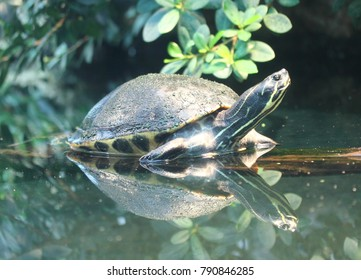The river cooter (Pseudemys concinna) is a  freshwater turtle native to the central and eastern United States