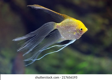 River fish Pterophyllum (hybrid form Gold and Veil), underwater photography