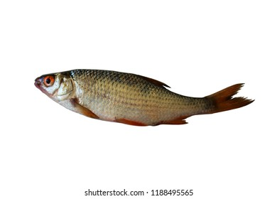River fish with red eyes isolated on white background.