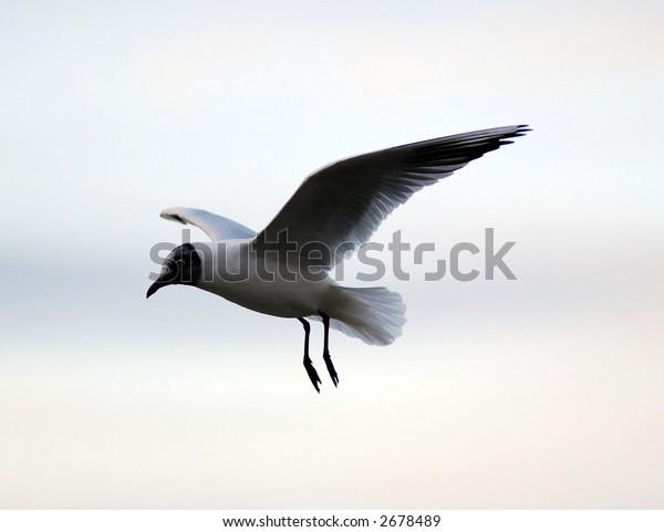 River gull