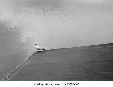 River gull resting
