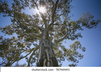 River gum tree (Queen's tree) at kings park botanic gardens, Perth city western Australia.