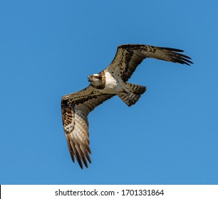 river hawk or western osprey (Pandion haliaetus) in flight, wildlife animal