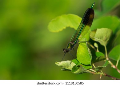 River Jewelwing Damselfly perched on a leaf. Carden Alvar Provincial Park, Kawartha Lakes, Ontario, Canada.