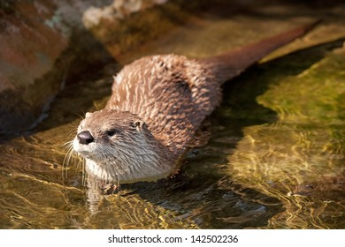 River otter.
