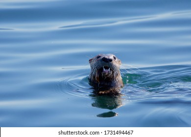 River otter surfaces in blue sea with a fish in its jaws near Clover Point, Vancouver Island, British Columbia