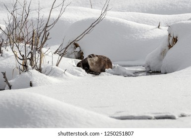 River Otter in Winter